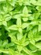 Optimized-Herbs basil.jpg