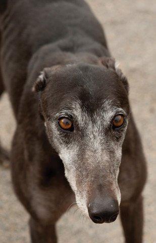 Orrick's Greyhounds