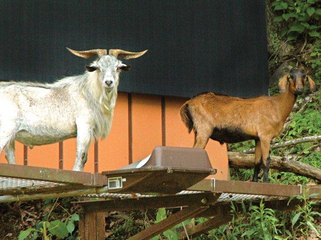 Billboard Goats II
